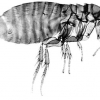 How Long Does A Flea Live