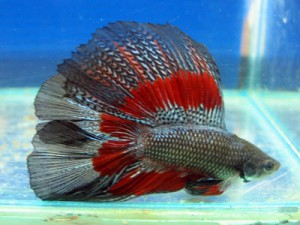 How long does a betta fish live