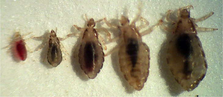 How Long Does Lice Live