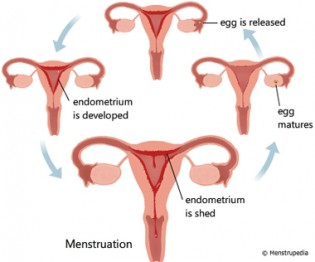 how-long-does-a-menstrual-cycle-last-img