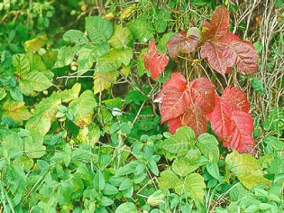 how-long-does-poison-ivy-last-img